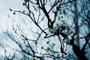 梅からサクラへ。